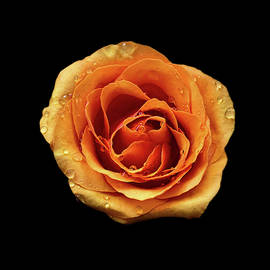The Portrait of a Rose by Jipsi Immanuelle