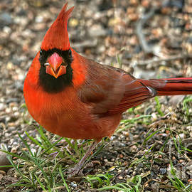 The Red Cardinal by Janice Pariza