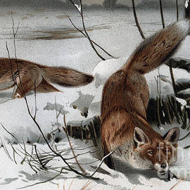 German School - The red fox Vulpes vulpes