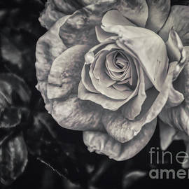 Janice Pariza - The Rose In Black and White