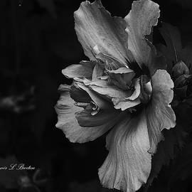 The Rose Mallow by Dennis Burton
