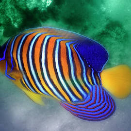 The Royal Angelfish Colorfully by Johanna Hurmerinta
