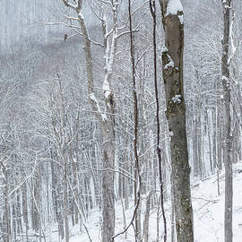 The Sentry Monongahela National Forest by Thomas R Fletcher