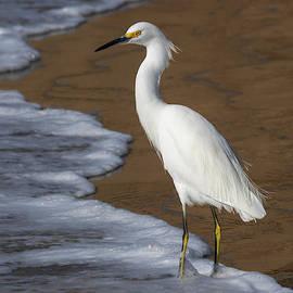 The Snowy Egret as Shorebird by Bruce Frye