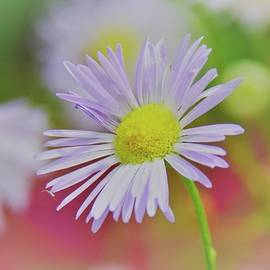 The Softness Of An Ox Eye Daisy by Lisa Wooten