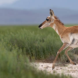 The Speedy Pronghorn. by Paul Martin