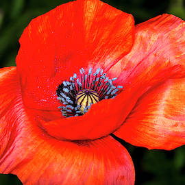 The Strength Of The Poppy Flower by David Morefield