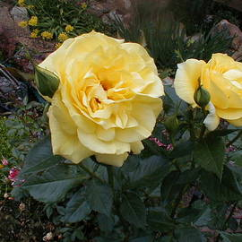 The Sun Is Really Shining On The Roses by Paul - Phyllis Stuart