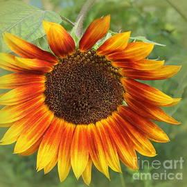 The Sunflower of Late Summer by Dora Sofia Caputo Photographic Design and Fine Art