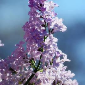 The Syringa Is Blooming Beautifully by Johanna Hurmerinta