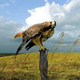 The Tall Grass Prairie, Kansas, Red Tailed Hawk by Thomas Pollart