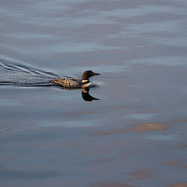 The Visitor - Common Loon - Gavia Immer by Spencer Bush