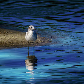 The Wading Seagull by TJ Baccari