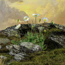 The White Poppies Of Peace by M Spadecaller