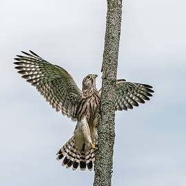 The young Kestrel climb a wooden fence pole  by Torbjorn Swenelius