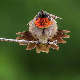 This Ruby-throated Hummingbird Has Personality by Cindy Treger
