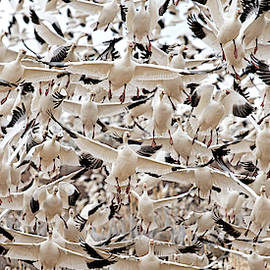 Thousands And Thousands Of Snow Geese At Bosque Del Apache National Refuge By Olena Art  by OLena Art - Lena Owens