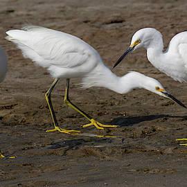 Bruce Frye - Three Egrets Feeding