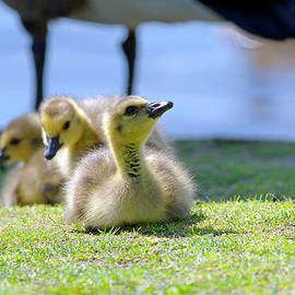Three Goslings by Sharon Talson