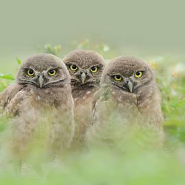 Three Lil Owls by Carol Eade