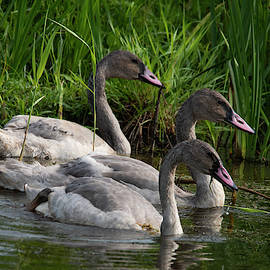 Three Swans A Swimming by Jayne Gohr