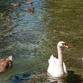 Dimitris Sivyllis - Three Swans and Three Ducks
