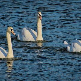 TJ Baccari - Three Swans
