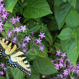 Tiger Swallowtail Butterfly Nature Wildlife Art by Reid Callaway