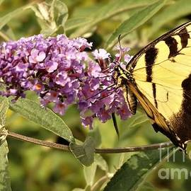 Tiger Swallowtail Butterfly on Bush Blossums                August          Indiana by Rory Cubel
