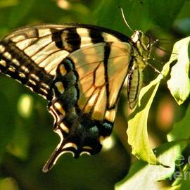 Tiger Swallowtail Butterfly On Viburnum Bush           August          Indiana by Rory Cubel