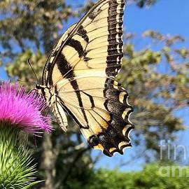 Tiger Swallowtail by Jean Costa