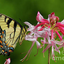Tiger Swallowtaill On Wild Azalea by Barbara Bowen