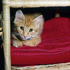 Tiny Kitten by Sally Weigand