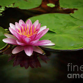 Tiny Rosy Water Lily by Sabrina L Ryan