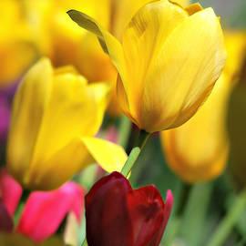 Tiptoe through the Tulips by Marilyn De Block