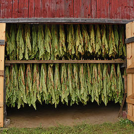 Tobacco Hung to Dry by Mike Martin