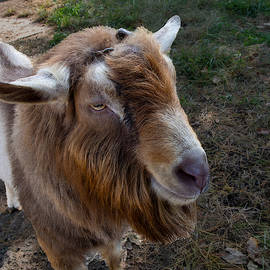 Toggenburg Goat at the Carl Sandburg Home by L Bosco