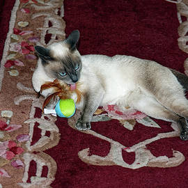 Tonkinese Cat Licking Toy by Sally Weigand