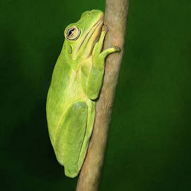 Tree Frog Attitude by Art Cole