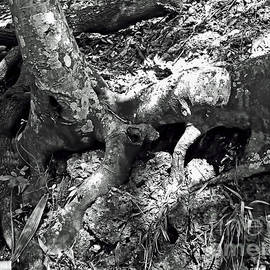 Tree Roots On The Bank Bw by D Hackett