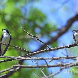 Tree Swallow Twosome  by Kerri Farley