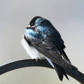 Tree Swallow Winter Morning by Jennie Marie Schell