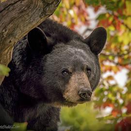 Tree Top Black Bear by LeeAnn McLaneGoetz McLaneGoetzStudioLLCcom