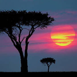 Trees On Plains Silhouetted Ad Sunrise by Danita Delimont
