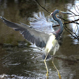 Tricolor Heron Takeoff by Jerry Griffin
