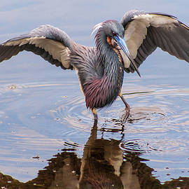 Tricolored Heron Fishing by Stefan Mazzola