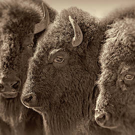 Trio American Bison Sepia Brown by Jennie Marie Schell