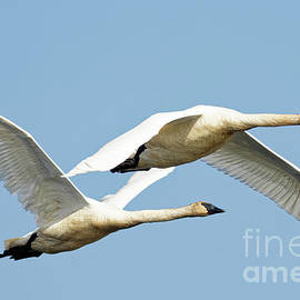 Trumpeter Pair in Flight by Natural Focal Point Photography