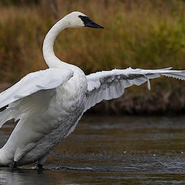 Trumpeter Swan. by Paul Martin