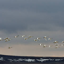 Trumpeter Swans Over Freezout by Kae Cheatham